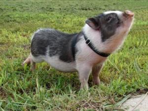 Cerdito-vietnamita-cerdo-miniatura-en-Valencia