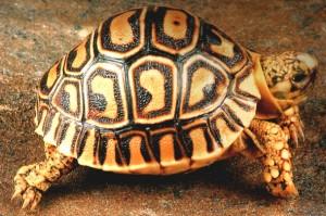 tortuga-rusa